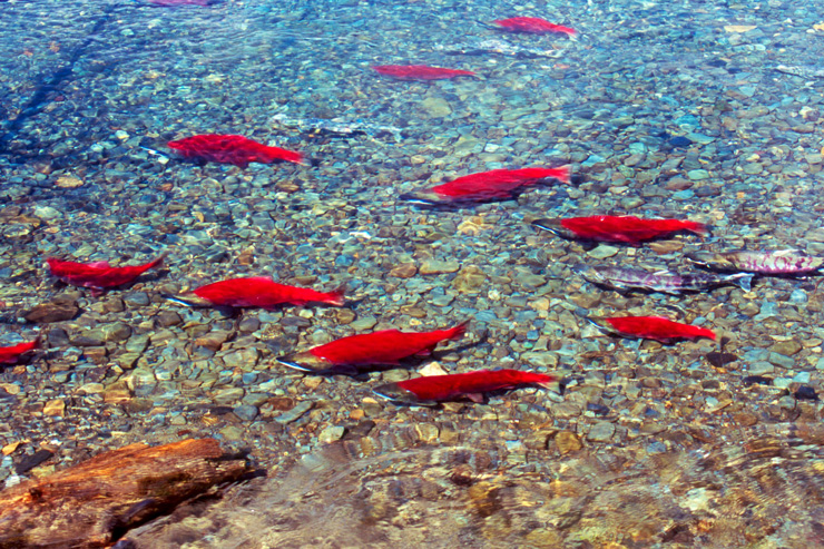 Photograph of the crimson red sockeye Salmon in redfish lake